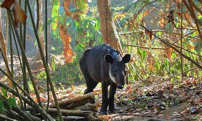 a-baby-tapir-in-the-rain-forest.jpg