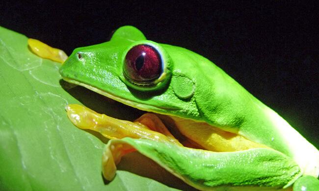 a-flying-tree-frog.jpg