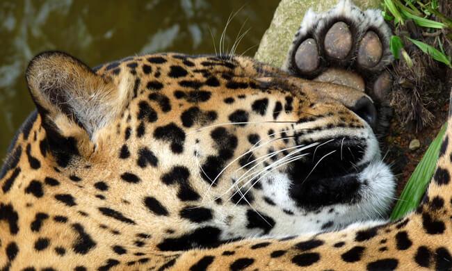 a-sleepy-jaguar.jpg