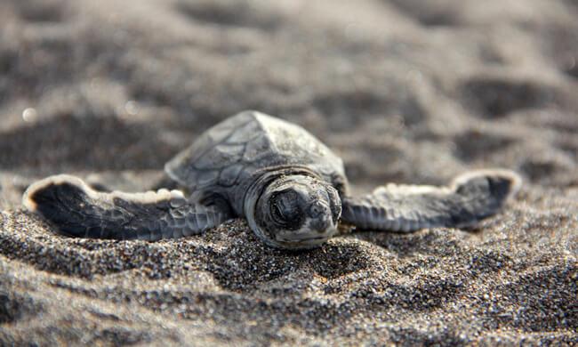 baby-turtle-in-tortuguero.jpg