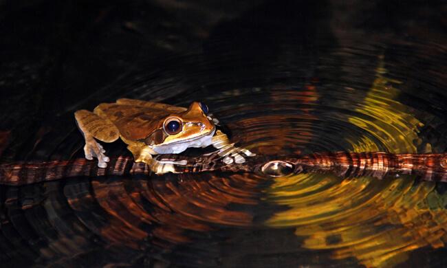 signing-masked-tree-frog.jpg