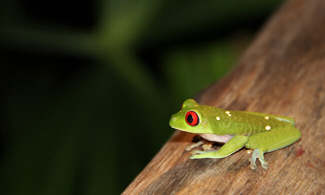 the-famous-red-eyed-tree-frog.jpg