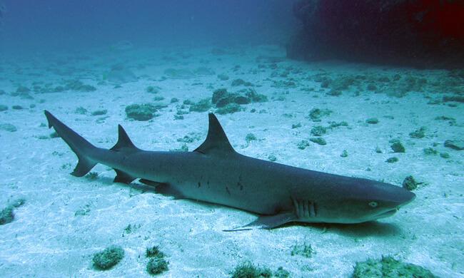 white-tip-reef-shark.jpg