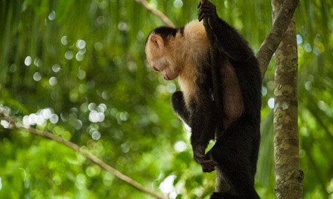 white-face-cappuchin-monkey.jpg