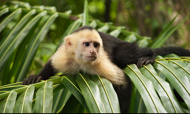 manuel-antonio-national-park-tour-white-face-cappuchin-monkey.jpg